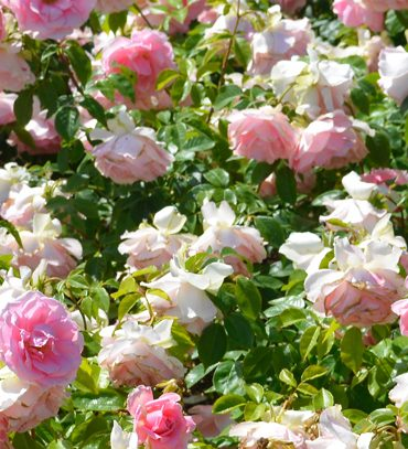 image-wide-queen-marys-rose-garden